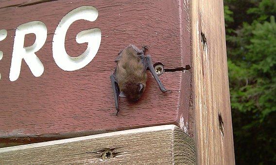 Bat, Nature, Animal, Animals, Natural