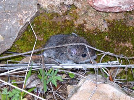Fieldmouse, Rodent, Mouse, Small Mammal