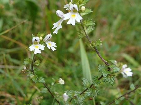 Smetljika, Herbal, Flower