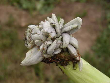 Corn, Neoplasm, Plant
