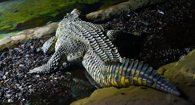 Crocodile, Alligator, Scale, Reptile, Tail, Dark