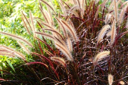 Fjärderborstgräs, Grass, Perennial