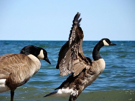 Geese, Goose, Bird, Animal, Ocean, Wave, Lake, Beach