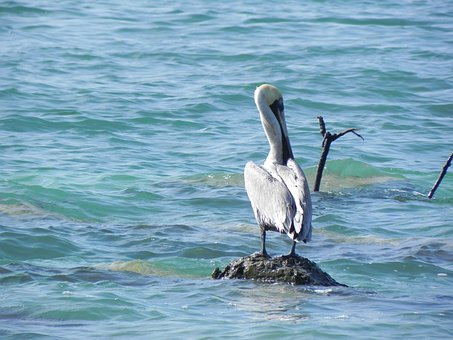 Animals, Pelican, Rock