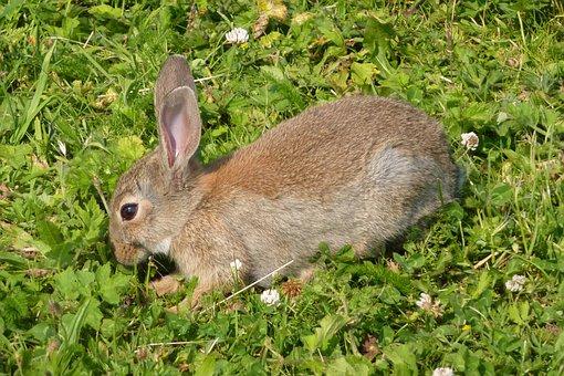 Rabbit, Haas, Grassland