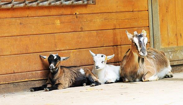 Goats, Relaxed, Family