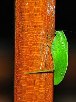 Grasshopper Sheet, Pseudophyllinae, Insect, Animal