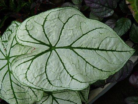 Leaf, Green, Plant, Kaladie, Tropical