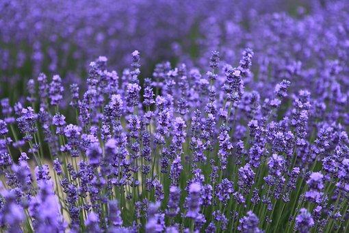 Lavender, The Scenery, Nalati, Flower, Purple, Plant