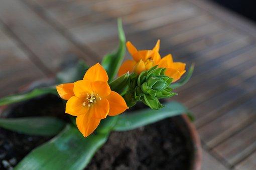 Milchstrern, Flower, Orange, Green