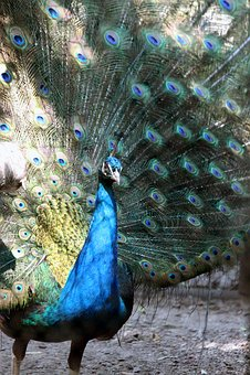 Peacock, Peacock's Tail, Bluebird, Beauty, Bird, Zoo