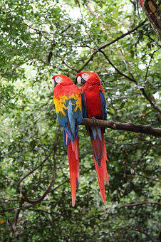 Macaws, Birds, Parrot, Nature, Animal, Wildlife, Wild
