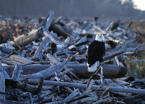Eagle, Nature, Bird, Washington, America, Island