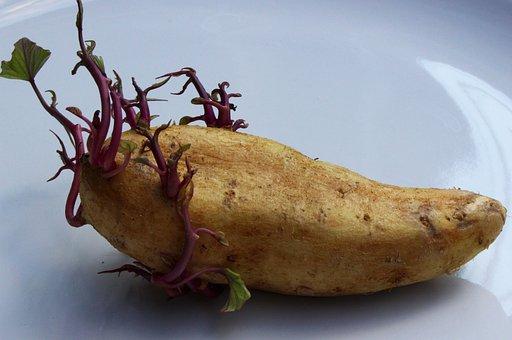 Potato, Seed Potato, Vegetable, Food, Seed, Organic