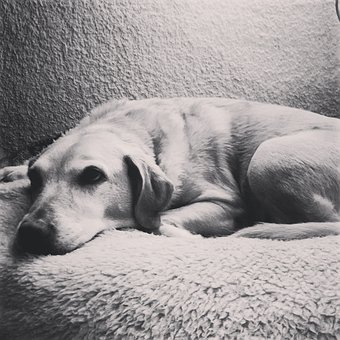 Labrador, Laziness, Black And White, Resting, Friend