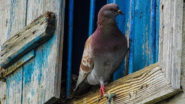 Pigeon, Window, Bird, Village, Old House, Abandoned