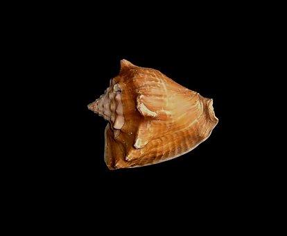 Shell, Black, Seashell, Colorful