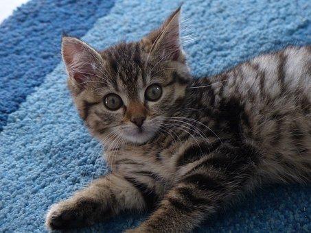 Kitten, Brush Ears, Mackerel, Cute