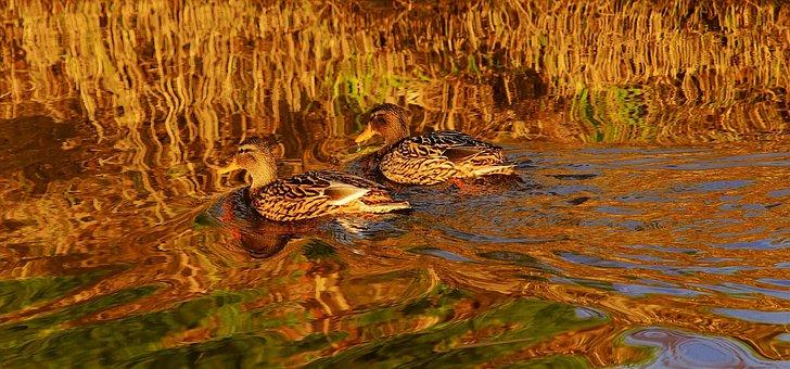 Ducks, Female, Birds, Waterfowl, Water, Plumage, Nature