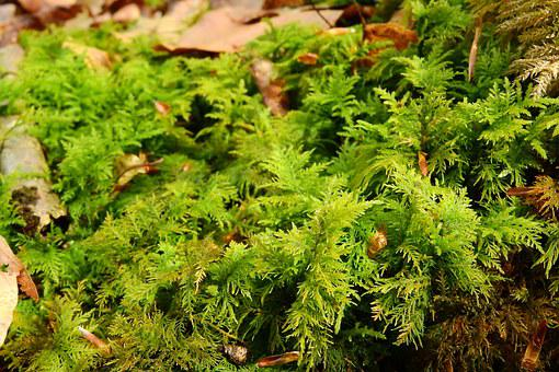 Moss, Bryophytes, Rokytnik, Hylocomium