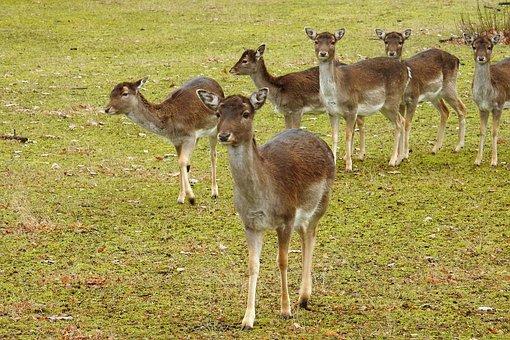 Deer, Forest, Fallow Deer, Nature, Wild, Animals