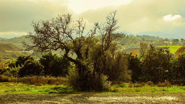 Olive Tree, Nature, Countryside, Mediterranean