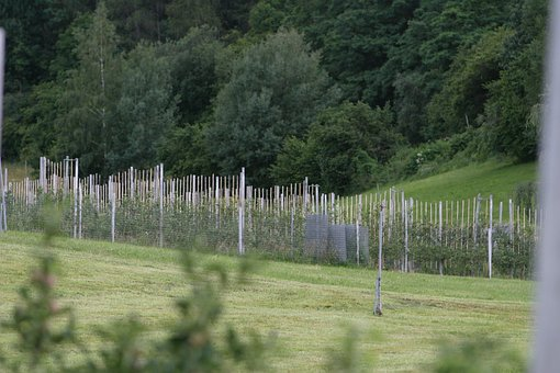 Plantation, Wine, Wine Hang, Winegrowing