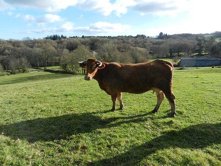 Blonde Cow, Grass, Animal