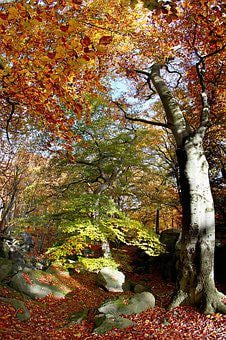 Beech, Forest, Autumn, Nature, Tree, Light