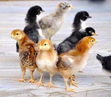 Chicks, Chicken, Hen, Poultry, Bird, Fowl, Farm