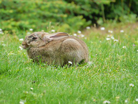 Rabbit, Animals, Nature, Grass, Eat, Nager, Ears