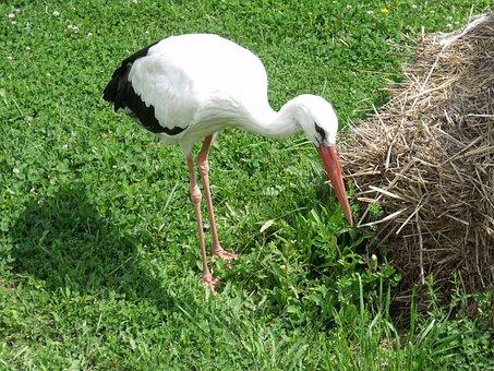 Stork, Animal, Poroszlo