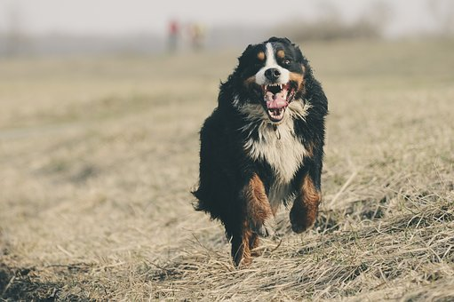 Bernese Mountain Dog, Berner Sennen, Switzerland