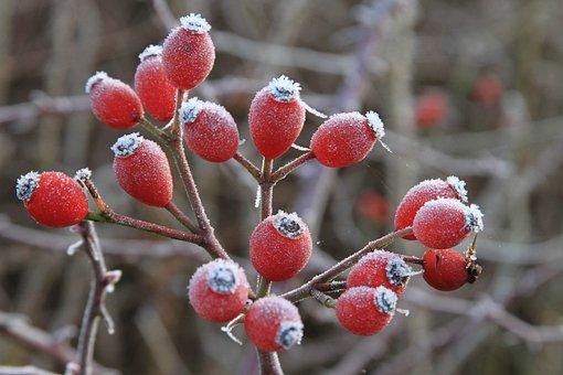 Rosehips, Haws, Red, Berry, Wild, Dog-rose, Brier, Hip
