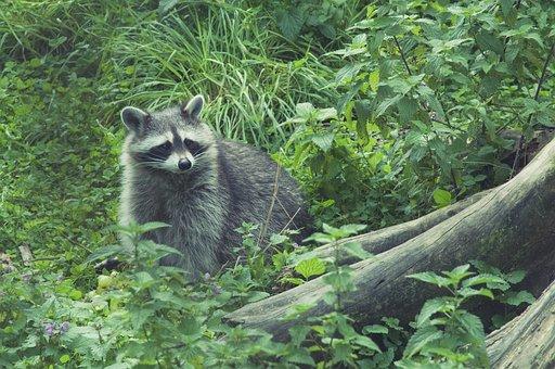 Raccoon, Wild, Furry, Animal World, Nature, Cute