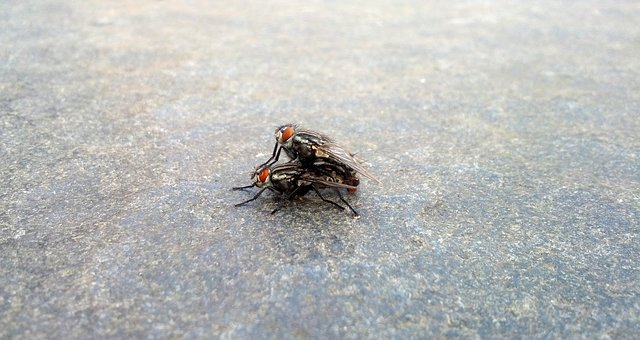 Fly, Mate, Insects, Propagation, Bug