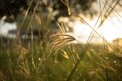 Thatch, Grass, Fress, Sunrise, Dew, Aceh, Indonesia