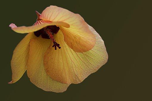 Flower, Blossom, Bloom, Yellow Orange, Hibiscus