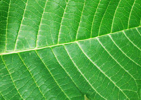 Sheet, A Green Leaf, Structure, Nature