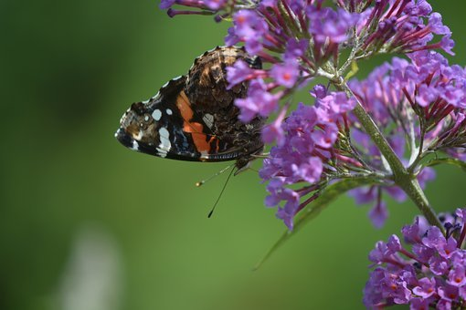 Butterfly, Skipper, Pollination, Pollinator, Insect
