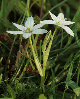 Shaded Floating Island, Ornithogalum Umbellatum, Flower