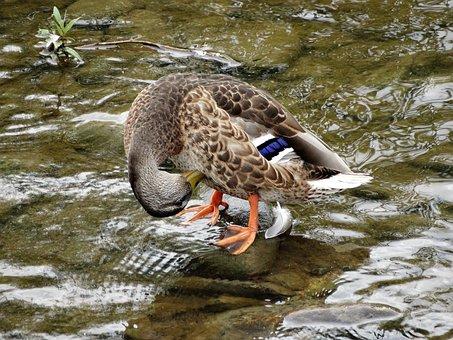Duck, Kaczor, Animals, Wild Birds, Water Bird
