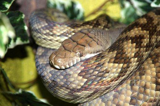 Amethyst Python, Snake, Python, Morelia Amethistina