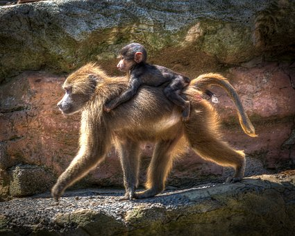 Zoo, Baboon, Monkey, Primate, Wildlife, Nature, Ape