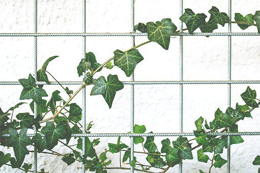 Climber Plant, Garden, Ivy, Background, Nature, Plant