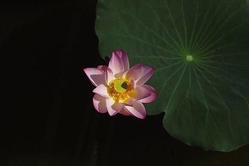 Lotus, Lotus Leaf, Be Quiet