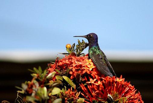 Hummingbird, Paige, Beija Flor, Colibri, Birds, Flower