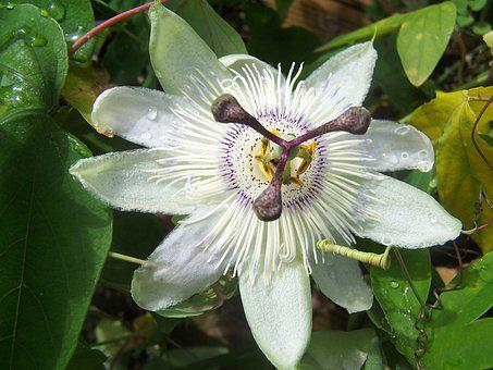 Passiflora, Blue Crown, Creeper, Hybrid