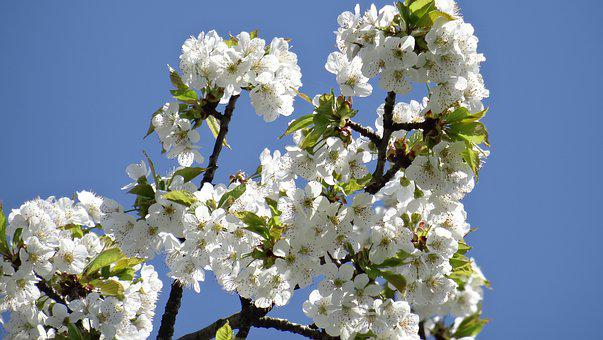 Flowers, Spring, Close Up, Plant, Cherry