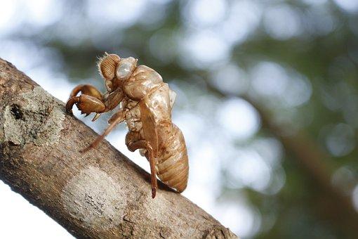 Cicada, Cicada Shell, Insects, Wildlife